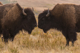 Two Bison Face-To-Face, Custer State Park, South Dakota, USA Impressão fotográfica por  Jaynes Gallery