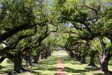 300-Year-Old Oak Trees, Vacherie, New Orleans, Louisiana, USA Fotografisk tryk af Cindy Miller Hopkins
