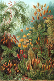 Muscinae Nature by Ernst Haeckel Prints