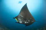 The Reef Manta Ray with Yellow Pilot Fish in Front of its Mouth Lámina fotográfica