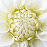 White Dahlia Reproduction photographique Premium par Karen Ussery