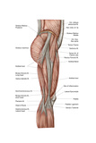Anatomy of Human Thigh Muscles, Anterior View Posters