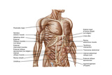 Anatomy of Human Abdominal Muscles Print