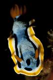 Anna's Chromodoris Nudibranch Sea Slug Lámina fotográfica