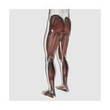 Male Muscle Anatomy of the Human Legs, Posterior View Poster