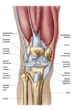 Anatomy of Human Knee Joint Poster