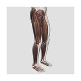 Male Muscle Anatomy of the Human Legs, Anterior View Prints