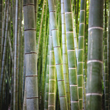 Bamboo 2 Premium Photographic Print by  JoSon