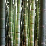Bamboo 1 Premium Photographic Print by  JoSon