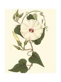 Blossoming Vine I Giclée-Premiumdruck von Sydenham Teast Edwards