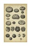Study of Shells III Láminas por  Chambers