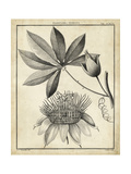 Passiflora II Prints by Charles Francois Sellier