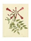 Catesby Bird and Botanical VI Pôsters por Mark Catesby