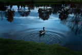 A Goose Swims in a Calm Lake Fotografisk tryk af Vickie Lewis