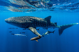 A School of Suckerfish, Sharksuckers and Cobia Follow a Whale Shark Fotografisk tryk af Jason Edwards