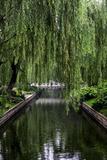 The Branches of a Weeping Willow Tree, Salix Babylonica, Hanging over a Calm Waterway Valokuvavedos tekijänä Jonathan Irish