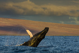 Side View of a Humpback Whale Breaching in the Pacific Ocean Fotografisk trykk av Ralph Lee Hopkins
