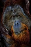 A Male Orangutan at the Borneo Orangutan Survival Center in Nyaru Menteng Lámina fotográfica por Mattias Klum