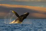 A Humpback Whale Breaches in the Pacific Ocean Fotografisk trykk av Ralph Lee Hopkins
