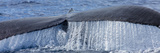 Close Up of a Humpback Whale's Tail Rising from the Pacific Fotografisk trykk av Ralph Lee Hopkins
