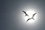 Magnificent Frigatebirds in Flight over Isla Iguana Reproduction photographique par Michael Melford