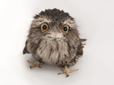 A Tawny Frogmouth Owl, Podargus Strigoides, at the Fort Worth Zoo Fotografisk trykk av Joel Sartore