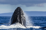 A Humpback Whale Does a Jaw Clap in the Pacific Fotografisk trykk av Ralph Lee Hopkins