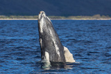 A Young Humpback Whale Rises Out of the Pacific in a Spy Hop Fotografisk trykk av Ralph Lee Hopkins