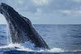 A Humpback Whale Does a Head Lunge in the Pacific Fotografisk trykk av Ralph Lee Hopkins
