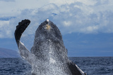 A Humpback Whale Breaches Out of the Pacific Ocean Fotografisk trykk av Ralph Lee Hopkins