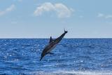 A Hawaiian Spinner Dolphin Leaps over the Pacific Ocean Fotografisk trykk av Ralph Lee Hopkins