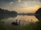 Black Swans Glide on the Lake at Ibirapuera Park in Sao Paulo at Sunrise Impressão fotográfica por Alex Saberi