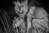An adult male lion, C-Boy, mates with a Kibumbu pride female. Photographic Print by Michael Nichols