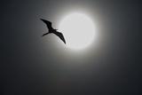 A Magnificent Frigatebird in Flight over Isla Iguana Reproduction photographique par Michael Melford