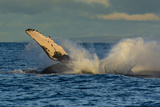 A Humpback Whale Breaches in the Pacific Fotografisk trykk av Ralph Lee Hopkins
