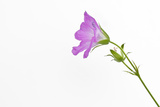 Single Flower on White Background Reproduction photographique par Will Wilkinson