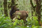 A Roosevelt Elk Stands in a Lush Forest in Ecola State Park Fotografisk trykk av Vickie Lewis