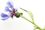 Blue Fever Breeze Reproduction photographique par Will Wilkinson