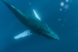 Underwater View of a Humpback Whale in the Pacific Fotografisk trykk av Ralph Lee Hopkins
