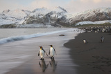 King Penguins on the Beach at Gold Harbour on South Georgia Island Fotografisk trykk av Michael Melford