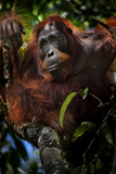 An Orangutan in a Peat Swamp Forest at the Borneo Orangutan Survival Center Fotografisk tryk af Mattias Klum