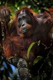 An Orangutan in a Peat Swamp Forest at the Borneo Orangutan Survival Center Lámina fotográfica por Mattias Klum