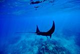 A Manta Ray Glides over a Reef Near the Surface of a Tropical Ocean Fotografisk trykk av Jason Edwards
