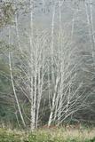 Birch Trees in Fog Fotografisk trykk av Vickie Lewis