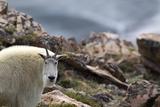 Portrait of a Mountain Goat, Oreamnos Americanus, in Rocky Terrain Fotografie-Druck von Robbie George