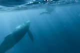 Underwater View of Two Humpback Whales in the Pacific Fotografisk trykk av Ralph Lee Hopkins