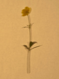 Single Flower on Tan Background Reproduction photographique par Will Wilkinson