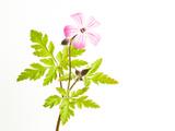Delicate Flower Reproduction photographique par Will Wilkinson