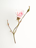 Rose rose Reproduction photographique par Will Wilkinson