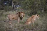 Male and Female Lions (Panthera Leo), Masai Mara National Reserve, Kenya, East Africa, Africa Impressão fotográfica por Angelo Cavalli